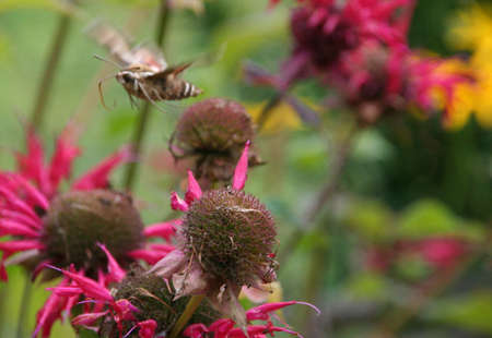 Sphinx moth [hawk moth] with wings in motion,  on Bee Balm  Adamant Vermont   版權商用圖片