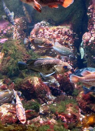 Fish swimming near reef,  Aquarium, Newport,  Oregon coast