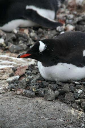 Gentoo Penguin in nesting area, [Pygoscelis papua], Port Lockerby, Antarcticarn
