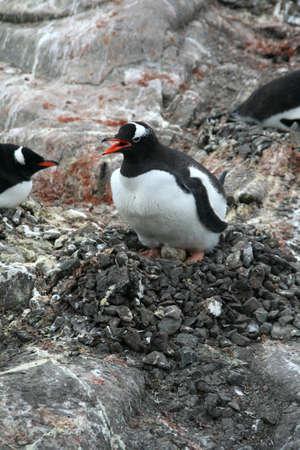 Penguin guarding her nest and egg, [Pygoscelis papua], Port Lockerby, Antarcticarn Stock Photo