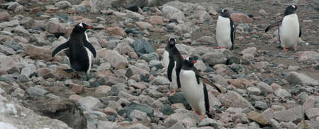 Gentoo penguins, on rocky beach, Neko Harbor, Andvord Bay, Antarctica Banco de Imagens