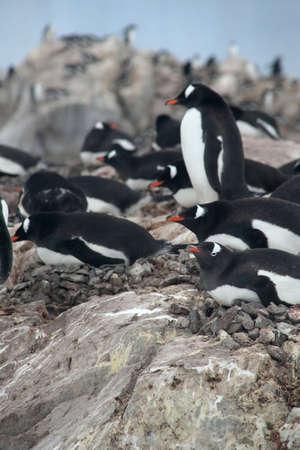 Gentoo penguins, nesting, [Pygoscelis papua] Neko Harbor, Andvord Bay, Antarctica