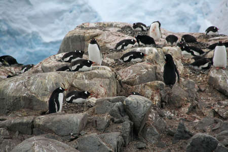 Gentoo penguin rookery, nesting penguins with glacier icefall in background, [Pygoscelis papua], Port Lockerby, Antarcticarn