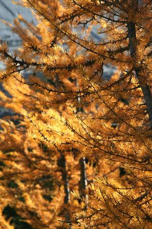 Western larch [larix] (tamarack, hackmatack), autumn needlesBurstall pass,Canadian Rockies,Kananaskis,Canmore, Banff,Alberta, Canada Stock Photo - 1147934
