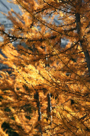 Western larch [larix] (tamarack, hackmatack), autumn needlesBurstall pass,Canadian Rockies,Kananaskis,Canmore, Banff,Alberta, Canada Stock Photo - 1147934