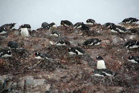 pinguinera: Colonia de ping�inos de Gentoo, de anidaci�n de aves, la luz tormenta de nieve, [Pygoscelis papua] Cuverville Isla, la Ant�rtida