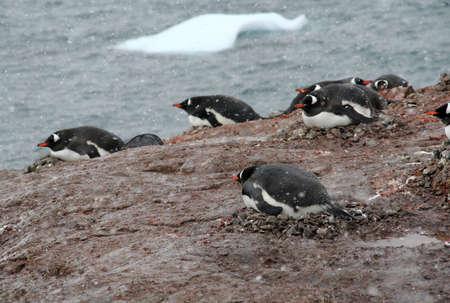 pinguinera: Colonia de ping�inos de Gentoo, de anidaci�n de aves, la luz tormenta de nieve, [Pygoscelis papua] Cuverville Isla, en la Ant�rtida