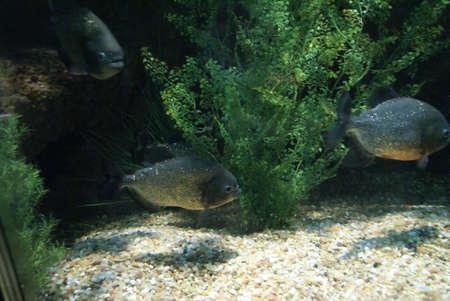 pygocentrus: Red Piranha  [Pygocentrus nattereri] , Woodland Park Zoo, Seattle Pacific Northwest
