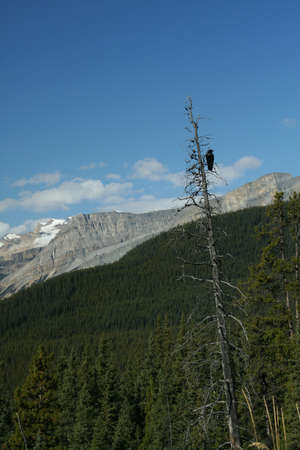 snag: Crow in snag, spruce forest & mountains in background, Columbia Icefields Parkway, Canadian Rockies,Banff,Jasper, Alberta, Canada Stock Photo
