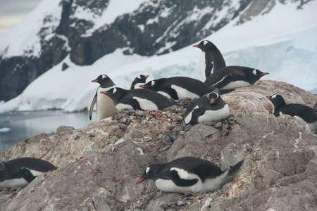 Nesting penguins, Gentoo penguin rookery, with glaciers and mountain n background.,  [Pygoscelis papua] Neko Harbor, Andvord Bay, Antarctica Reklamní fotografie