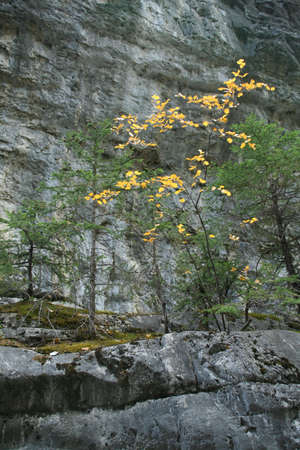 Golden poplar in canyon, Grotto Canyon Canadian Rockies,Kananaskis, Alberta, Canada