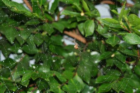 silken: Spider repairing its web after rain, spinning new silken threads  Seattle, Washingtonrn