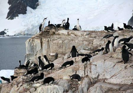 Cormorants co habiting with gentoo penguins, nesting on cliffs. [ Blue-eyed Shag - Phalacrocorax atriceps] [Pygoscelis papua], Petermann Island, Antarcticarn