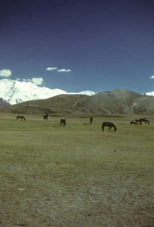 Horses grazing on flat steppes. Owned by nomads, descentdants of the Mongols of Genghis Khan.    Pamir mountain range, Himalayas, Central Asia, former USSR, now border of Tajikistan and Kyrgyzstan, near Afghanistan   Stock Photo