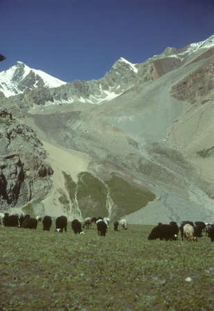 mongols: Marco Polo sheep grazing on flat steppes. Owned by nomads, descentdants of the Mongols of Genghis Khan.    Pamir mountain range, Himalayas, Central Asia, former USSR, now border of Tajikistan and Kyrgyzstan, near Afghanistan   Stock Photo