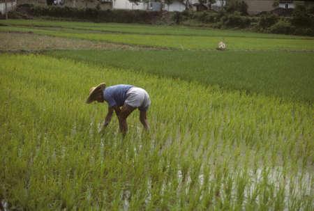 Man tending rice paddy, near  Huangshan China   photo