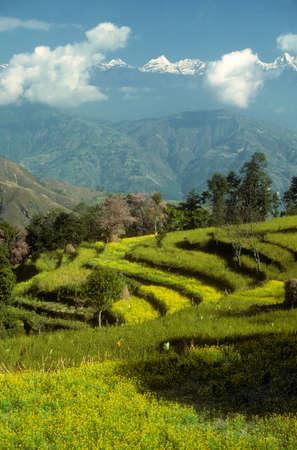 Green terraced fields in the   Helambu Himalayas, Nepal