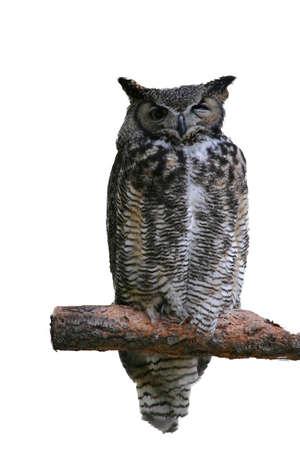 virginianus: Great horned owl,  [Bubo virginianus],  High Desert Museum, Central Oregon Isolated on white.   Stock Photo