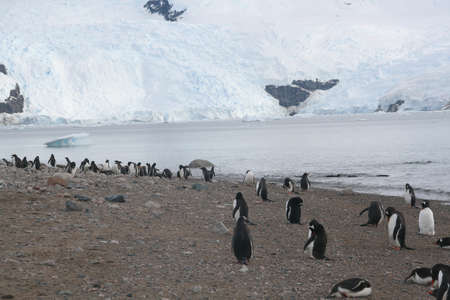 icefall: Gentoo penguins on shore, icefall in background,  [Pygoscelis papua] Neko Harbor, Andvord Bay, Antarctica