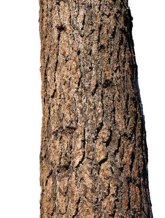 ponderosa pine: Trunk of Ponderosa Pine,  Deschutes River, Central Oregon Trunk of Ponderosa Pine,  Deschutes River, Central Oregon
