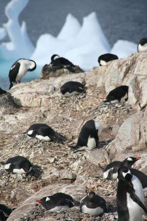 Gentoo penguins, nesting,   [Pygoscelis papua], Petermann Island, Antarcticarn Stock Photo