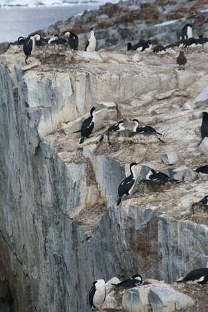 phalacrocorax atriceps: Cormorants co habiting with gentoo penguins, nesting on cliffs. [ Blue-eyed Shag - Phalacrocorax atriceps] [Pygoscelis papua], Petermann Island, Antarcticarn