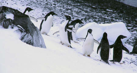 Confusion - adelie penguins questioning their path, [Pygoscelis adeliae] Brown Bluff, Antarctica   photo