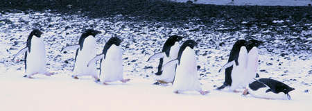 Adelie penguins waddling, sliding and hopping to the beach,  [Pygoscelis adeliae] Brown Bluff, Antarctica   photo