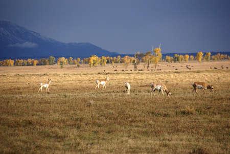 Pronghorn antelope in autumn [Antilopcapra americana] Grand Teton National Park, Wyoming