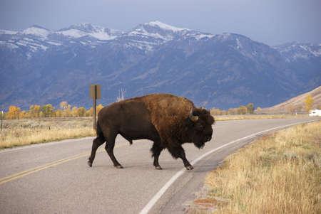 wherever: Single bull bison walking wherever he wants,, [Bison bison] Grand Teton National Park, Wyoming