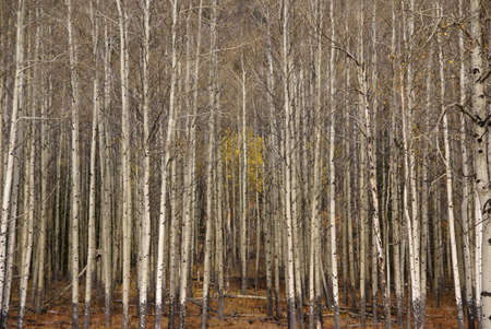 White trunks of aspen, autumn,  Banff, Alberta, Canada   photo