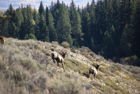 wapiti: Elk (wapiti) running down a hill,  [Cervus elephas] Grand Teton National Park, Wyoming