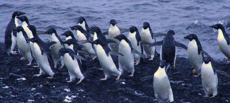 Flock van adéliepinguïns, die uit het water, [Pygoscelis adeliae] bruine Bluff, Antarctica