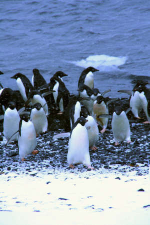 Koppel van Adelie pinguins, afkomstig uit het water, [Pygoscelis adeliae] Brown Bluff, Antarctica