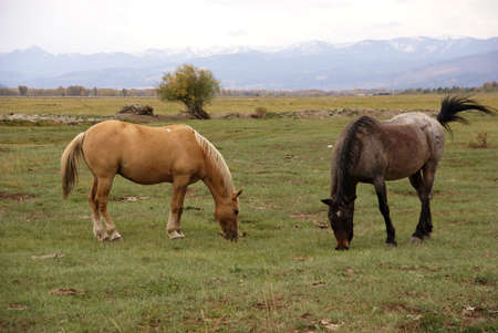 Pair of horses grazing in meadow, outside   Grand Teton National Park, Wyoming   photo