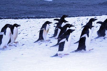 Gentoo penguin in light snow,  [Pygoscelis papua], Port Lockerby, Antarctica