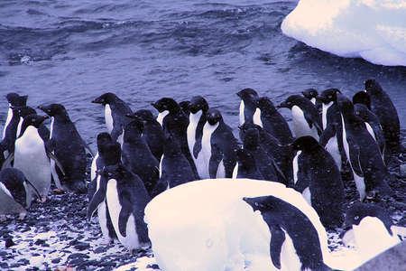 bluff: Flock of Adelie penguins, walking along the shoreline, [Pygoscelis adeliae] Brown Bluff, Antarctica