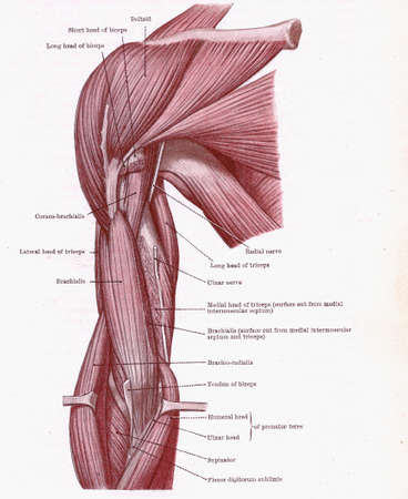 Dissectie van de spieren aan de voorzijde van de bovenarm, uit een vroeg 20e-eeuwse anatomie leerboek uit van het auteursrecht