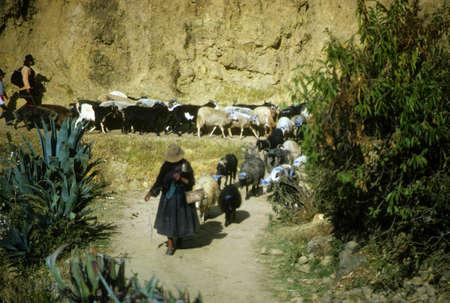 quechua: Peruvian Indian women herding sheep & goats marked with blue dye,  Cordillera Blanca, Andes mountains, Peru, South America