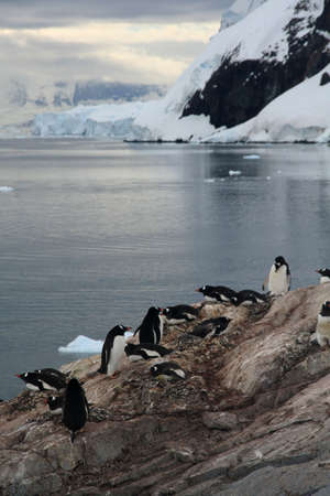 Gentoo penguins, on rocky beach, above glacial bay,    Neko Harbor, Andvord Bay, Antarctica