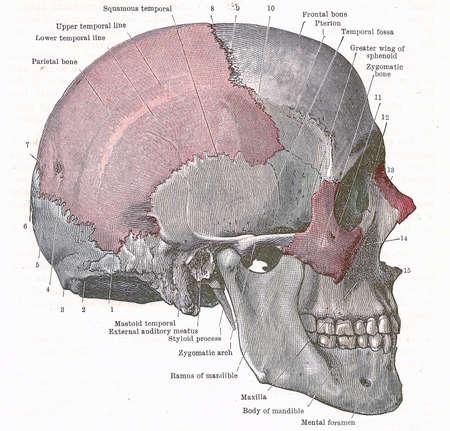 Ontleding van het menselijk hoofd - kant van de schedel; van een vroeg 20e-eeuwse anatomie leerboek uit van het auteursrecht Stockfoto