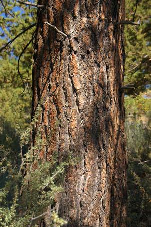 ponderosa pine: Ponderosa Pine, on hillside,   Deschutes River, Central Oregon