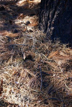 ponderosa: Ponderosa Pine cones on pine needle forest floor,  Deschutes River, Central Oregon