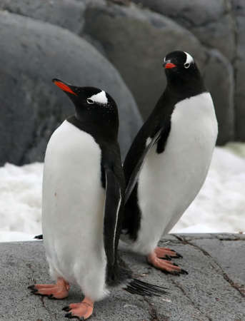 Pair of gentoo penguins, [Pygoscelis papua], Port Lockerby, Antarcticar