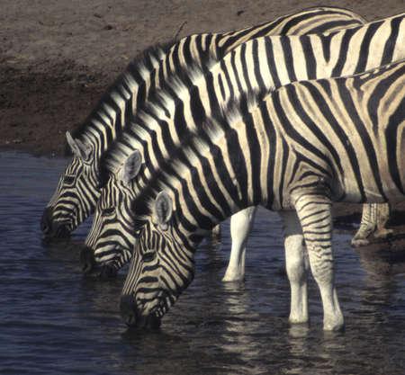 Three zebras at a watering hole, EtoshaNamibia, Africa