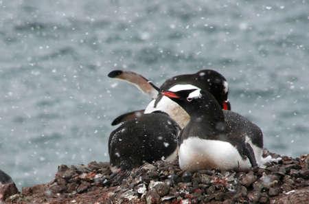 Gentoo penguins, nesting, light snow storm,