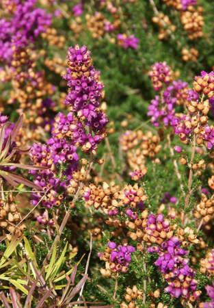 Purple heather flowers, detail,  , Seattle garden, Pacific Northwest