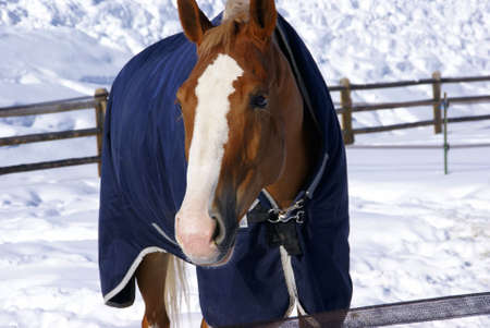 Brown horse with blue blanket on snowy winter morning,Cordillera,Colorado