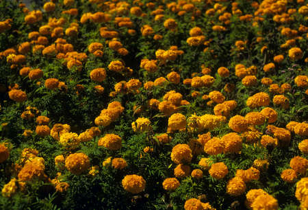 Field of marigolds,  Cascade mountains in Washington
