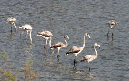 Flamingos in coastal lagoon,ChiaSardiniaItaly Stock Photo - 2734079